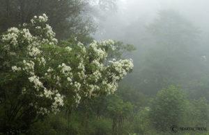 Margaritones en la neblina