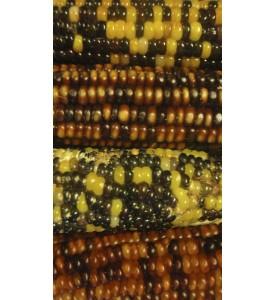 Maiz palomero de colores