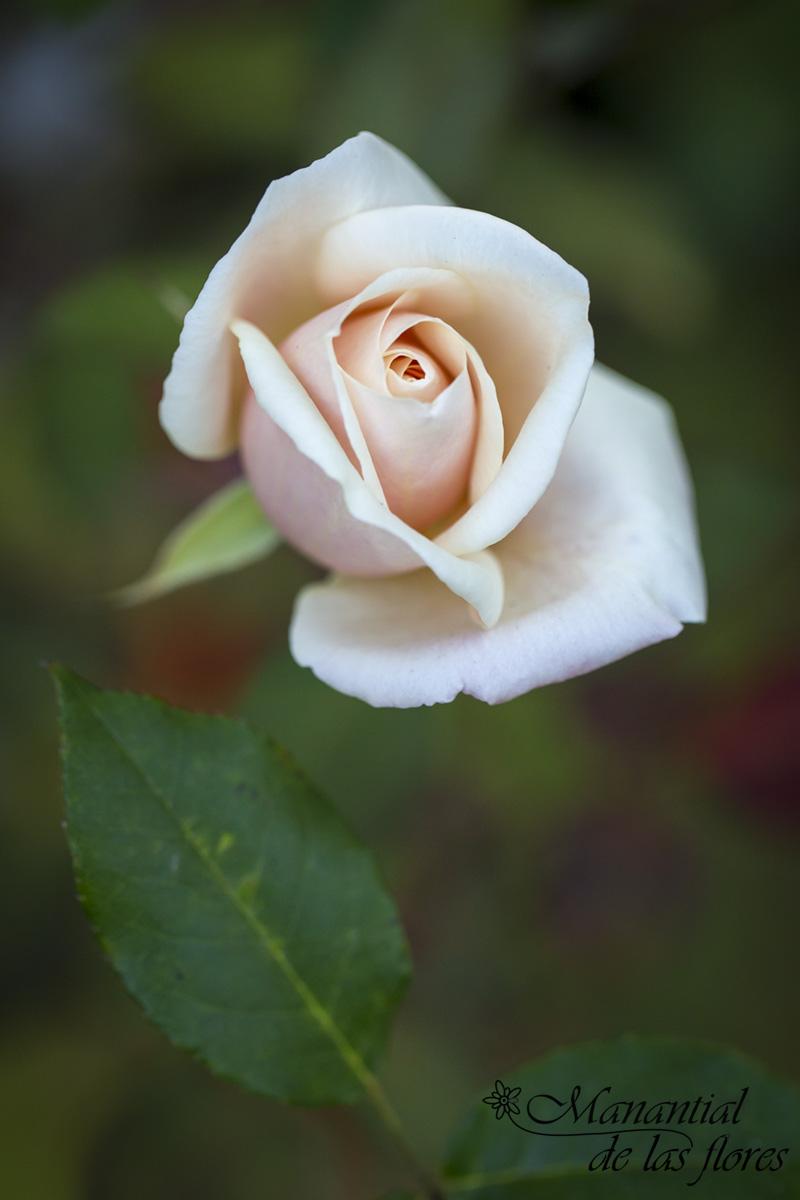 rosa 18 febrero